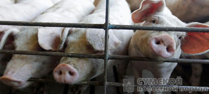 Африканская чума свиней в г.Белополье