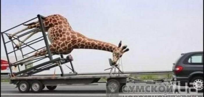 упал с жирафа