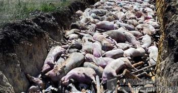 Чума свиней в Нижнем Песчаном