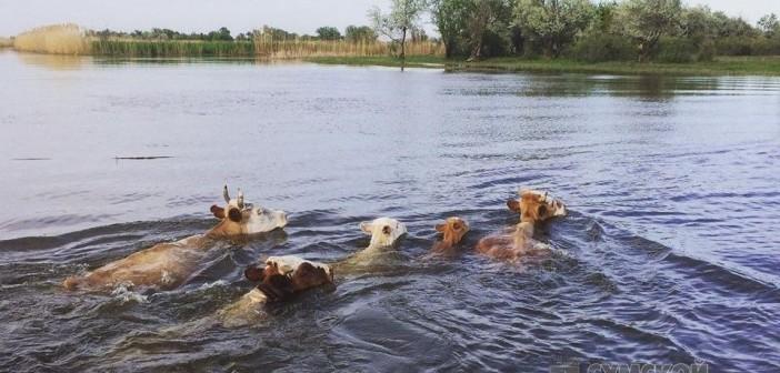 корова-плывет-уздица