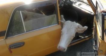 корова-в-авто