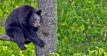 медведь-на-дереве