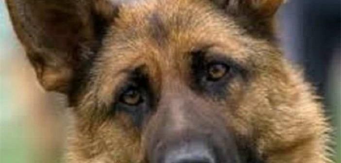 пограничный пес