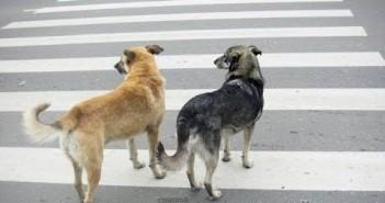 собаки-на-переходе